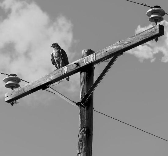 Hawk Raptor Animal Animal Themes Animal Wildlife Animals In The Wild Bird Birdofprey Cable Day Electricity  Lighting Equipment Low Angle View Nature No People One Animal Outdoors Perching Power Line  Power Supply Sky Technology Vertebrate