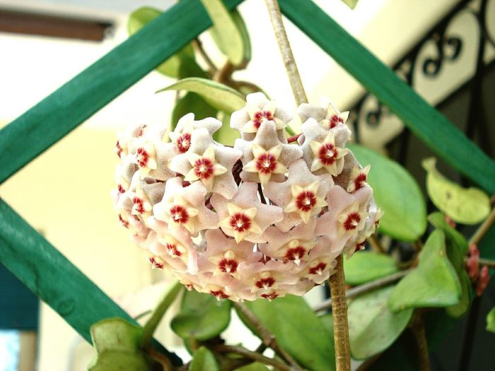 Flower Nature Plant Growth Beauty In Nature Flower Head Fragility Blossom Petal Freshness No People Outdoors Day Close-up Wax Plant Plant Wax Flower Nice Nature Nature Photography Naturelovers Natural Beauty Nature_perfection Naturephotography Nature Collection