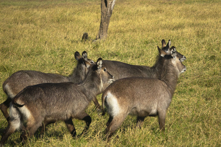 Goats on the field in kafue national park