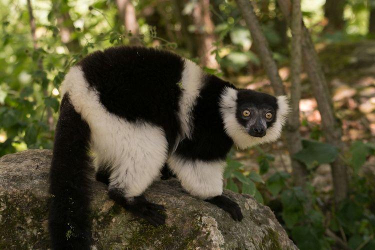 Portrait of lemur on rock in forest