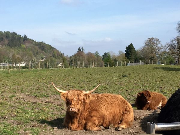 Day Nature Nice Day No People Non-urban Scene Outdoors Rural Scene Scotland Trossachs Highland Cattle HighlandCows Cattle Field Trees Highland Coo VisitScotland