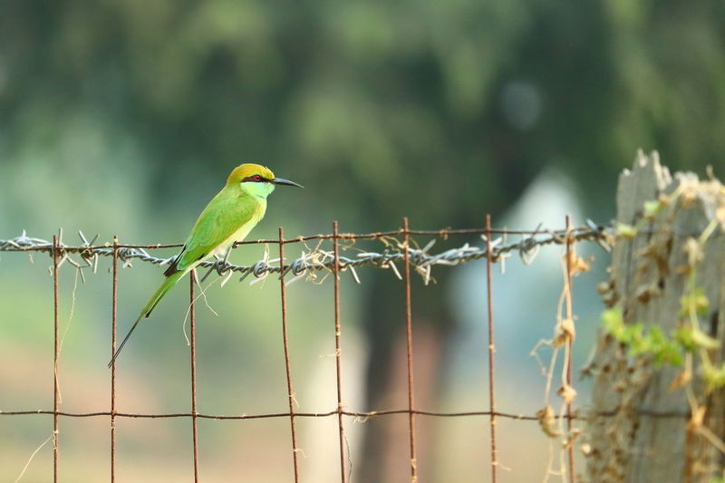 Close up of a green yellow bee eater perching on steel net at garden safety