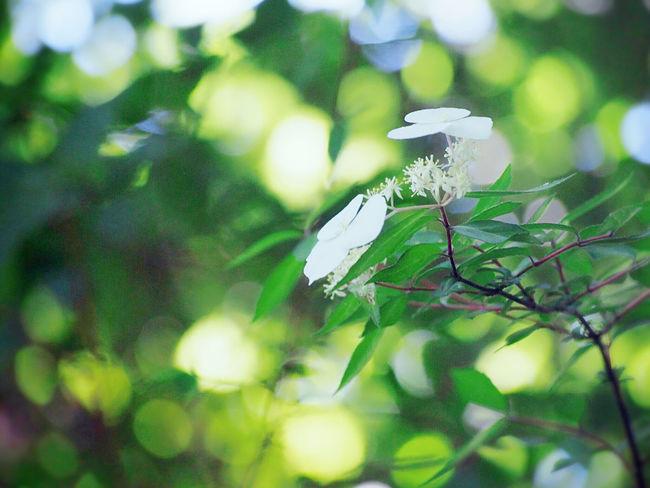 山紫陽花が咲き始めました♪ 梅雨入りちかいかな… 山紫陽花 Flower Collection Green Nature EyeEm Nature Lover EyeEm Best Shots My Point Of View 日だまり EyeEm Gallery Eyemphotography Beauty In Nature EyeEm Best Shots - Nature