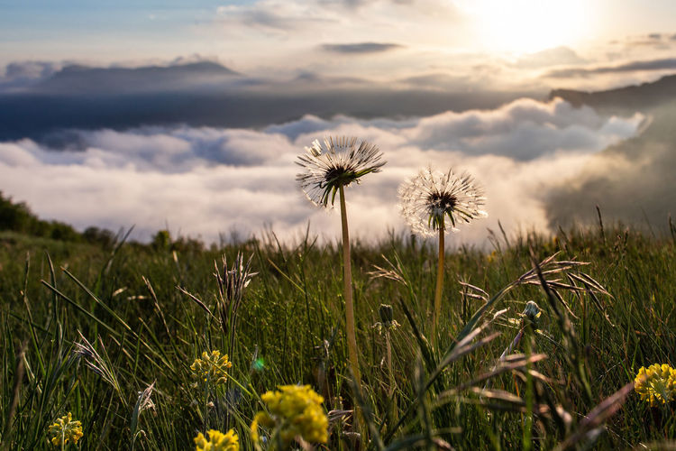 Plant Flower Growth Beauty In Nature Flowering Plant Fragility Freshness Field Vulnerability  Land Sky Dandelion Nature Flower Head Inflorescence Cloud - Sky Close-up No People Grass Sunset Outdoors Dandelion Seed