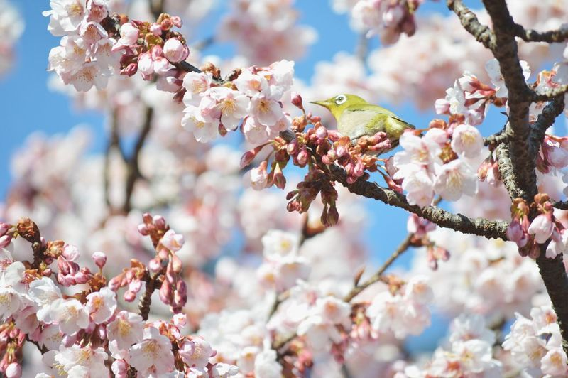 Cherry blossoms growing on tree