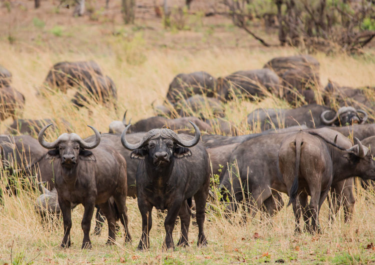 Water Buffaloes On Field Against Sky