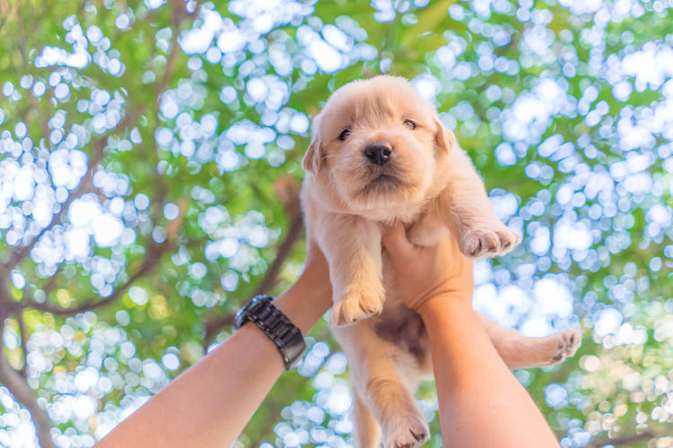 Hands Lifting A Puppy