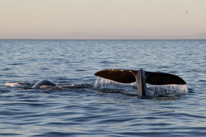 Whale South Africa Tale