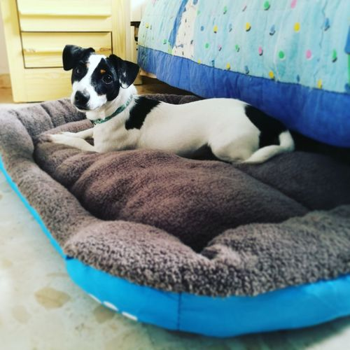 Her very first bed #jackrussellterrier #jackrussell #puppy #jackrussellpuppy Jack Russell Puppy Pets Dog Puppy Pet Bed