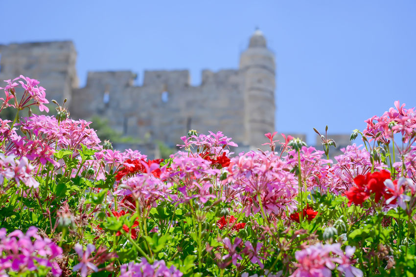 King David Tower - Jerusalem - israel Blooming Faith Flower Green Holly Holly City In Bloom Israel Jerusalem Jerusalem Walls Jew Jewish King David Citadel King David Tower Pink Color Plant Red Religion Religious  Sky Tourism Tourist Tourists Tredition Showcase July