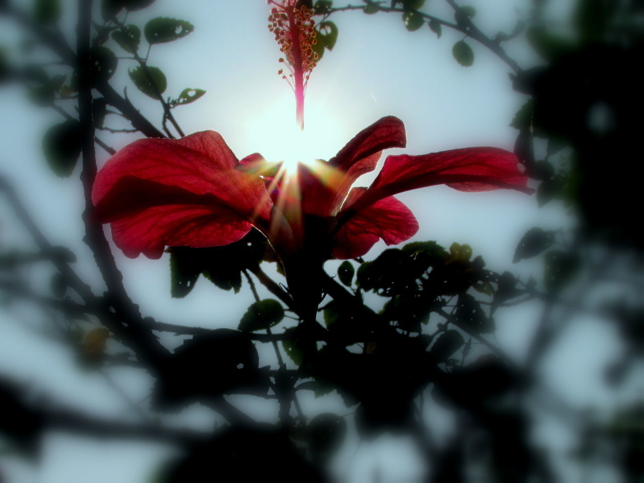 flower, petal, growth, fragility, beauty in nature, nature, freshness, red, flower head, plant, selective focus, close-up, blooming, outdoors, no people, day, springtime, hibiscus, tree, sky