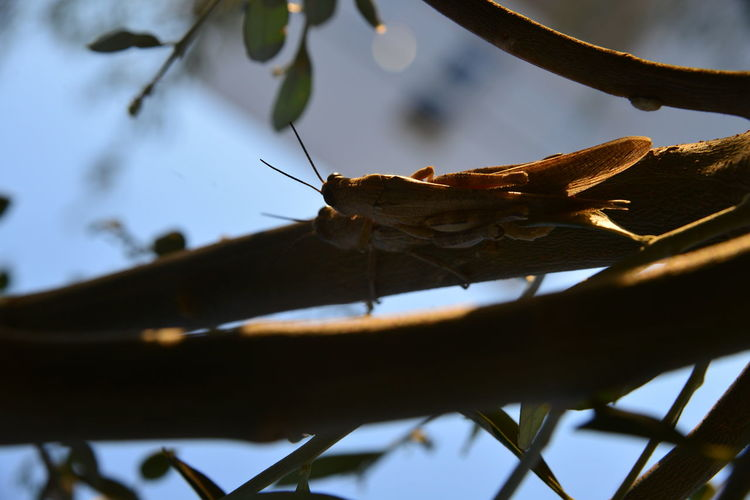 Close-Up Of Grasshoppers Mating