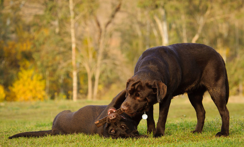Two labrador retriever playing with stick on lawn