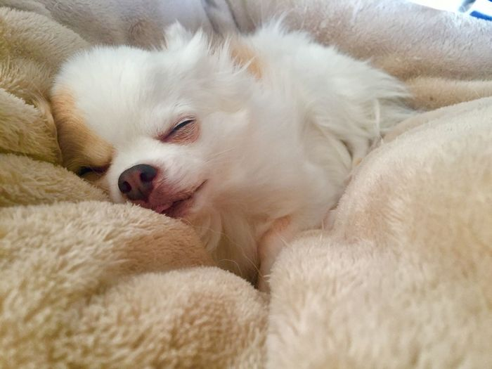 Dog Love Dogs Of EyeEm White Chihuahua Mammal Pets Domestic Animals Domestic Animal Themes Relaxation Animal One Animal Furniture Dog Canine Indoors  Blanket No People Sleeping Bed White Color Comfortable Lying Down Vertebrate