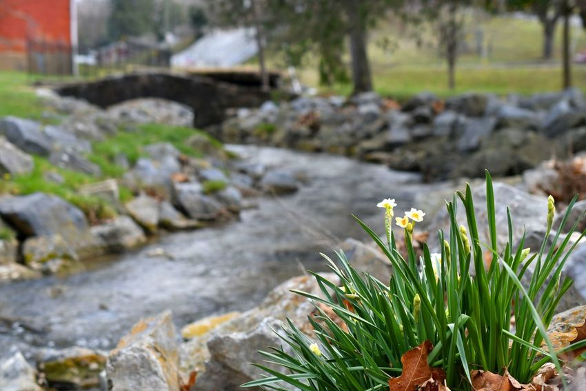 Daffodils blooming next to a creek or stream with a stone bridge in the background Copy Space Creek Beauty In Nature Bridge Bridge - Man Made Structure Close-up Daffodils Day Flower Freshness Growth Nature No People Outdoors Plant Spring Springtime Stone Bridge Stream