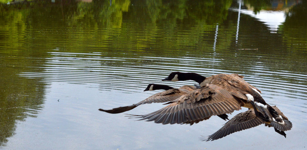 Multiple geese in flight over water Geese In Flight Animal Themes Animal Wildlife Animals In The Wild Beauty In Nature Bird Creeks Flying Geese Photography Lake Nature Outdoors Spread Wings Water Wings Breathing Space