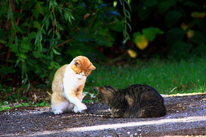 Two cats versus mouse. Animal Themes Domestic Cat Mammal Pets Feline No People Outdoors One Animal Day Domestic Animals Nature Two Animals Mouse Playing Tabby Cat Orange Cat Field Mouse Green Nature EyeEmNewHere The Street Photographer