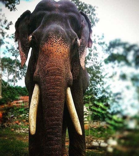 Kerala_tusker Tusker ProudofKerala Beingstrong Beingwild Instabeing Instastyle Instaedit