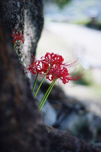Flower Japan Spiderlily