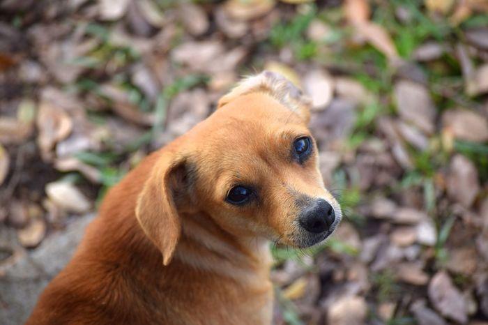 Animal Head  Animal Themes Dog Pets Chawawa Close-up Dog❤ Dogs Dogs Of EyeEm Dogslife Dog Lover
