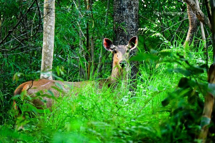 Animal Themes Mammal Animals In The Wild One Animal Animal Wildlife Day Nature Outdoors Green Color No People Forest Grass Tree Sambar Deer Deer Wildlife & Nature Wildlife Forest Photography Travel Destinations EyeEmNewHere Sonhalphacommunity Sony A6000 Beauty In Nature Nature Growth