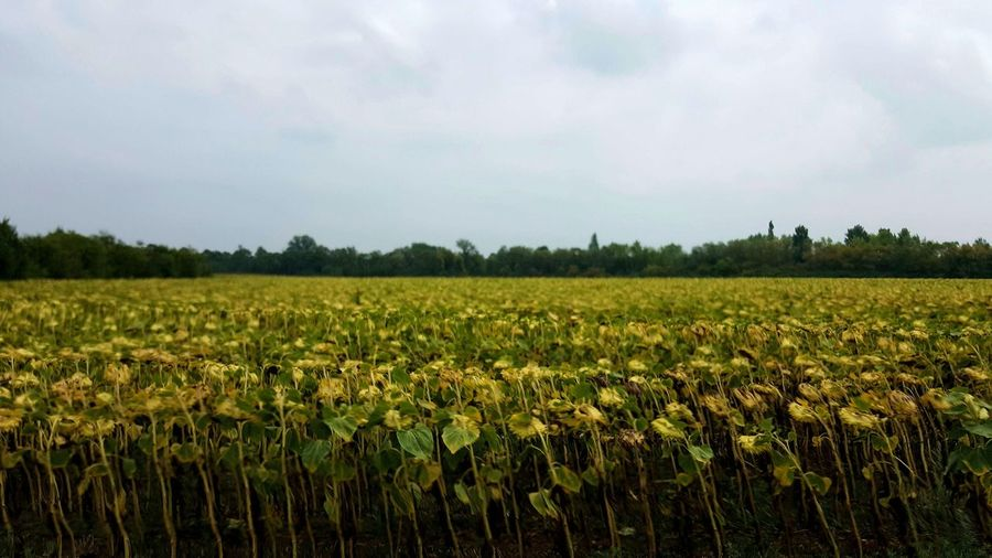 EyeEm Nature Lover Landscape Sunflowers🌻 Sunflower Head Agriculture Farm Rural Scene Growth Tranquility Nature Sky Trees And Sky Cloud - Sky Day No People No Filter