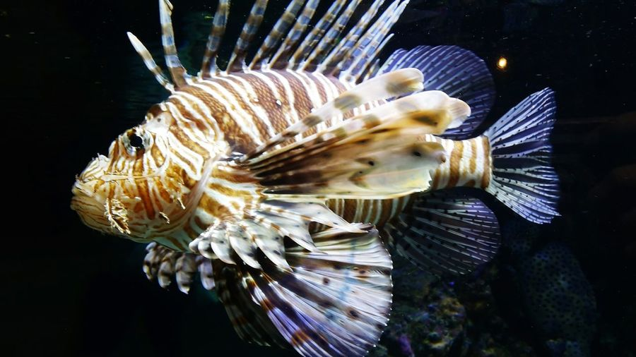 Close-up of lionfish swimming underwater