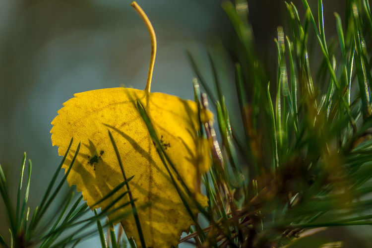 Focus Object Yellow Plant Nature Close-up No People Beauty In Nature Fragility Outdoors Freshness Growth Leaf Autumn Colors Macro Makro Autumn Freshness Bow Blatt Forest Wald EyeEmBestPics Nature EyeEm Best Shots Eyemgallery