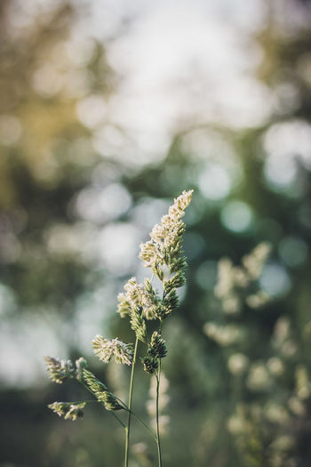 Beauty In Nature Close-up Day Flower Flower Head Focus On Foreground Freshness Golden Hour Grass Green Growth Nature No People Outdoors Plant