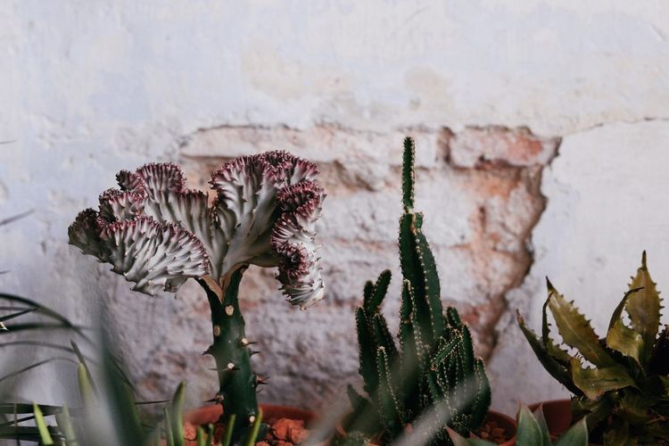 Coral Cactus Coral Cactus Cactus Flower Growth Plant Nature No People Beauty In Nature Outdoors