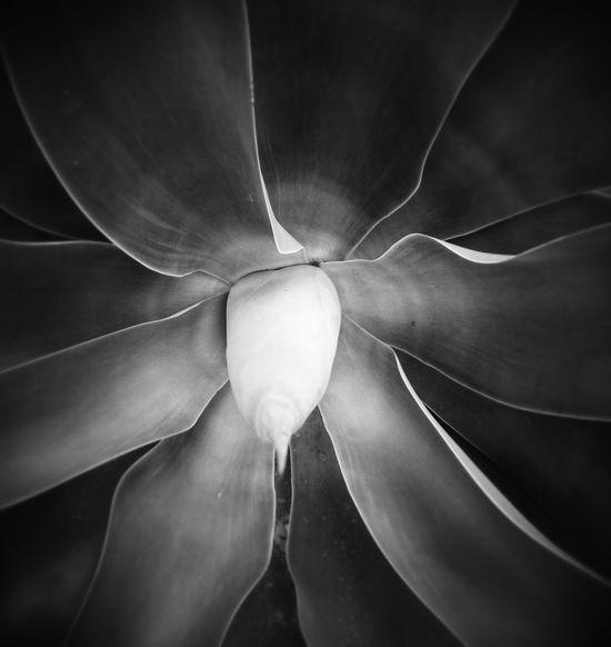 Agave Plant Blackandwhite Photography Nature Photography Beauty In Nature Nature Wildlife & Nature Plantsandflowers Plant Photography Mediterran Spainiswonderful Agave Close Up Agave Victoria-reginae Nature_ Collection