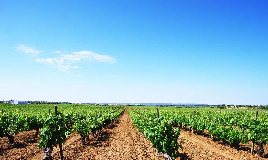 Vineyard at south of Portugal, Alentejo region Agriculture Environment Farm Field Green Color Landscape Nature Plantation Rural Scene Scenics - Nature Sky Vineyard