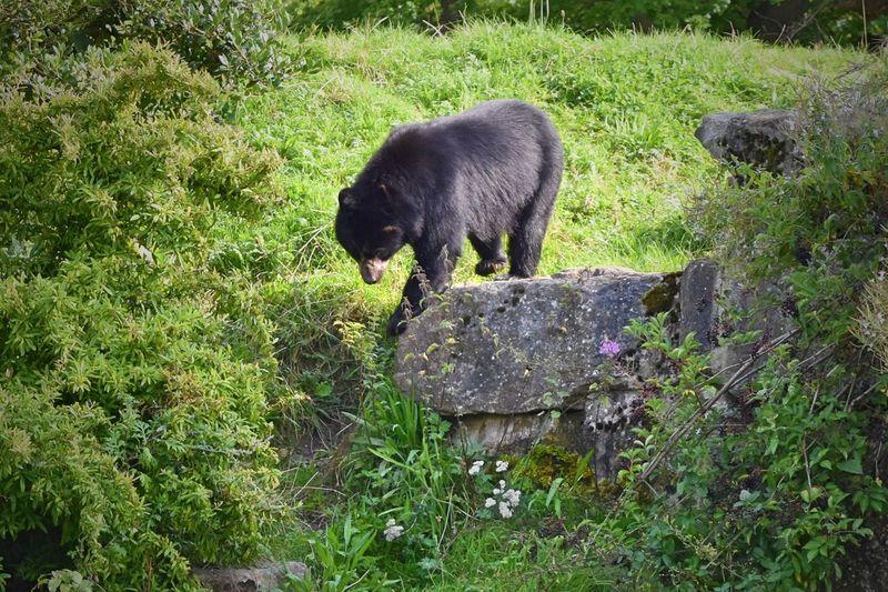 Bear Spectacle Bear Animal Themes Animal Wildlife Grass Mammal Nature No People One Animal Outdoors