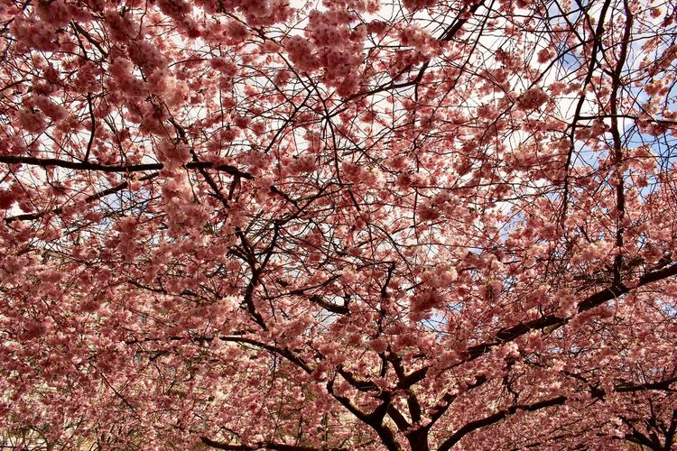 Beautiful Nature Beauty In Nature Blossom Botany Branch Cherry Blossom Cherry Tree 2017 Eyeem Awards Eyeem Flowers Gallery Flower Flower Collection Fragility Freshness Full Frame Growth Kungsträgården Low Angle View Nature No People Outdoors Pink Color Springtime Tree Trees In Bloom