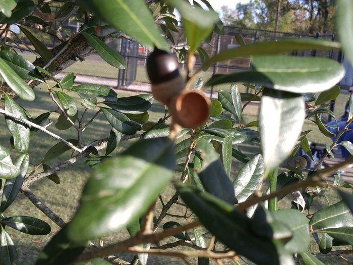 Acorn Branch @