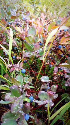 Mountaintop wild blueberries Blueberry Wild Blueberries The Migrating Moose Rain Cold Fall Harvest Water Backgrounds Leaf Close-up Plant Water Drop Droplet Blade Of Grass Green Drop Greenery
