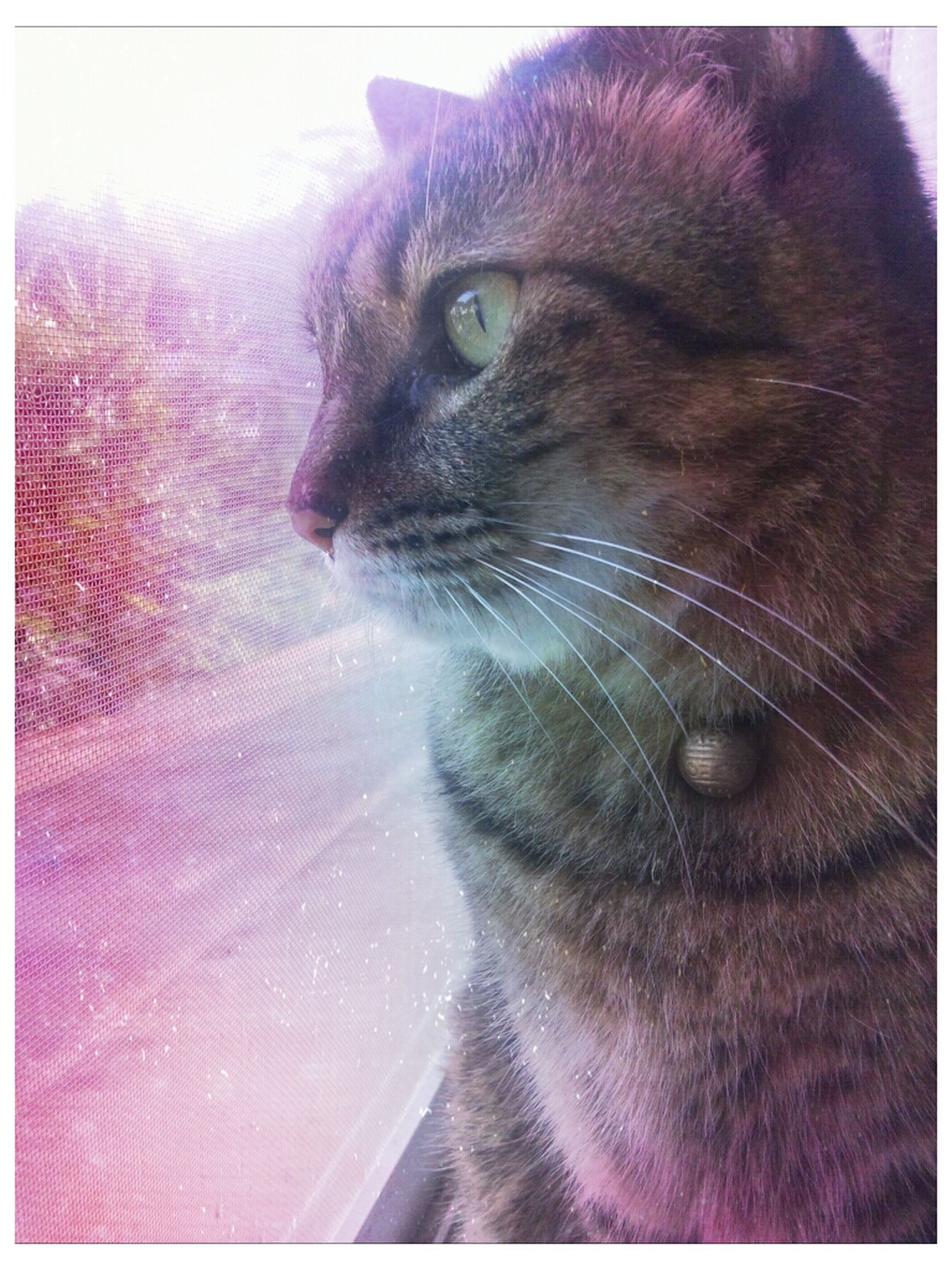 one animal, animal themes, domestic cat, pets, domestic animals, cat, feline, mammal, whisker, indoors, close-up, transfer print, animal head, auto post production filter, animal eye, staring, looking away, alertness, animal body part, black color