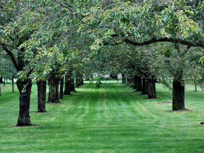 Spring Time Beauty In Nature Cherry Trees Day Freshness Grass Green Color Growth Landscape Nature No People Outdoors Row Of Trees Scenics Tranquility Tree