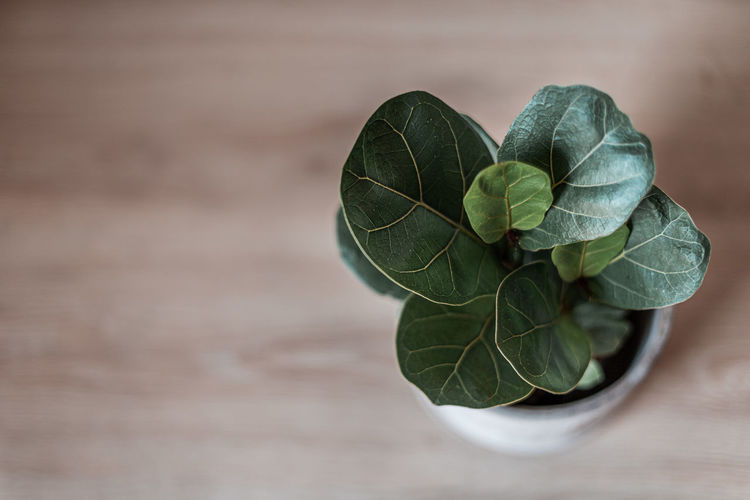 Close-up of fiddle leaf on table