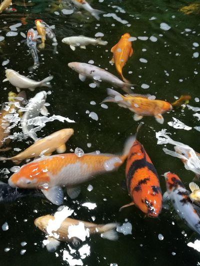 Carp Koi Carps Tong Garden Centre Fish High Angle View Animals In The Wild Close-up Nature