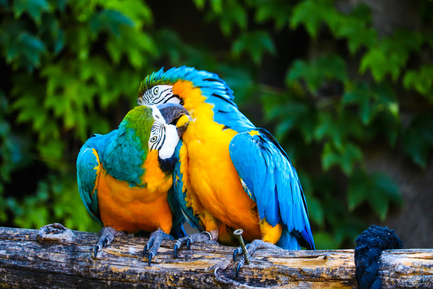 Pappagalli MR7 Animal Themes Animal Wildlife Animals In The Wild Beauty In Nature Bird Blue Canon Close-up Day Eos77D Focus On Foreground Gold And Blue Macaw Macaw Nature No People Outdoors Parrot Perching Tree Wood - Material