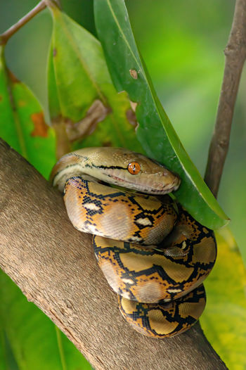 The child python curled on the branch of the mango tree. the background is green lief Animals Animal Reptile Python Malayopython Reticulatus One Animal Plants Nature Tree Leaves Leaf Tree Branch  Branch Stick Wildlife Creature Wild Animal Vertebrate Fauna Wild Animals Mango Tree Background Beautiful Black Blue Brown Bug Close Closeup Color Colorful Garden Green Insect Macro Natural Summer Tropical Wild Wings Close Up Animal Themes Animal Wildlife Animals In The Wild Close-up No People Focus On Foreground Green Color Plant Part Invertebrate