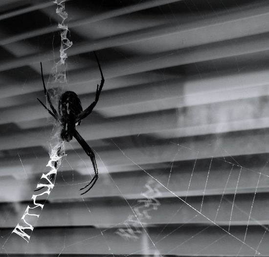 Black And White Friday Spider Spider Web Focus On Foreground Close-up Animal Themes No People Nature Animal Wildlife Web Insect Home Invasion. Scary Good Insect Black And White Spider