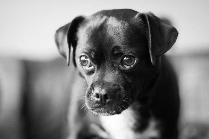 Looking the other way Pets Domestic Animals Mammal Animal Themes One Animal Looking At Camera Dog Portrait Whisker Close-up No People Indoors  Day Jack Russell Pug Mixed Breed Pets Corner Cute Pets Dogs Of EyeEm Pet Photography  Big Eyes Looking Away Blackandwhite Black And White Black & White