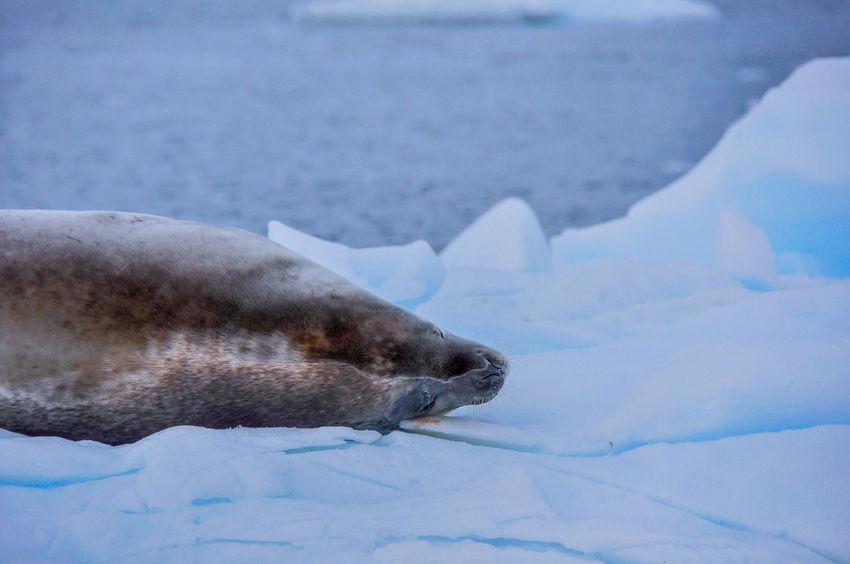 Antarctica Nature Iceberg Seals Ziseetheworld Ziwang Ice Antarctic Peninsula Weddell Seal weddell seal on ice