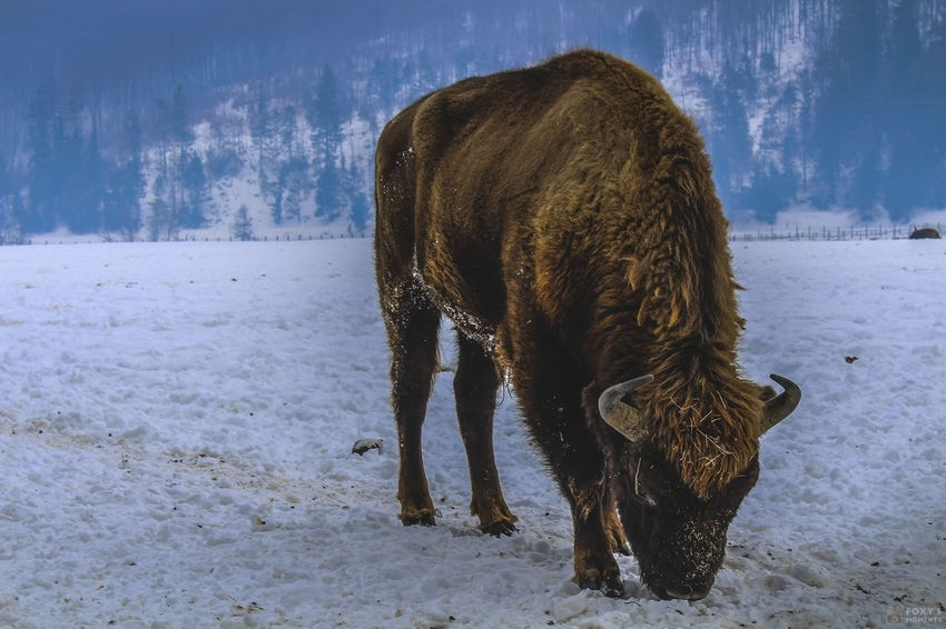 American Bison Beauty In Nature Day Mountain Nature Nature Photography Nature_collection No People One Animal Outdoors Sky TheWeekOnEyeEM