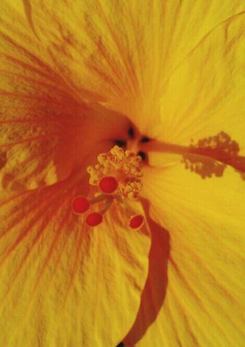 Maximum Closeness Flower Head Yellow Ibiscus Beauty In Nature