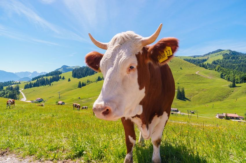 Cow in the Mountains Domestic Animals Livestock Domestic Pets Animal Animal Themes Mammal Land Field Plant Mountain Vertebrate Nature Cattle Grass Environment Sky Landscape Day Cow