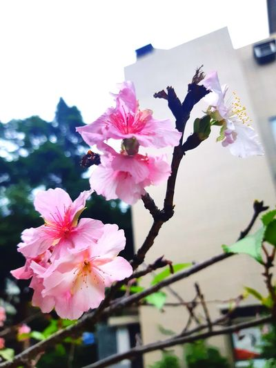 Blooming 🌸🌸🌸🌸🌸 Flower Head Flower Tree Springtime Branch Pink Color Petal Blossom Close-up Building Exterior Plum Blossom In Bloom Blooming Plant Life Cherry Blossom Fruit Tree Cherry Tree