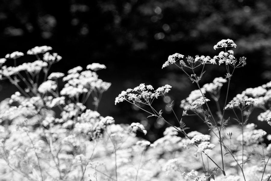 Beauty In Nature Blackandwhite Blooming Close-up Cow Parsley Day Flora Flower Flower Head Fragility Freshness Growth Nature No People Outdoors Plant Vegetation EyeEmNewHere